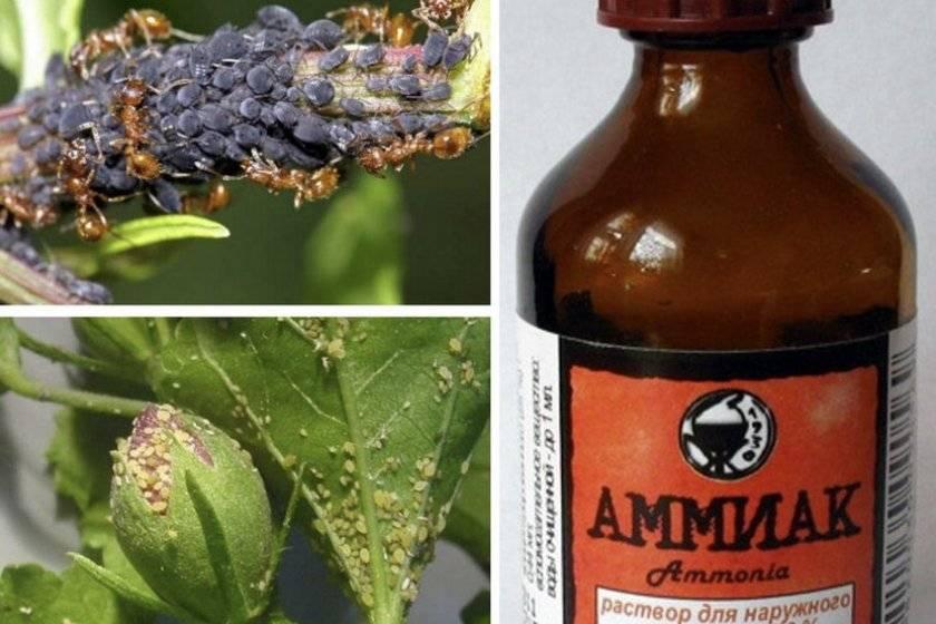 Аммиак - применение на огороде для подкормки и защиты от вредителей