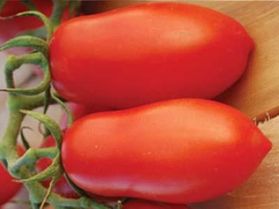 Описание сорта томата станичник, особенности выращивания и ухода