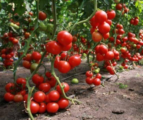 «урожайный огород» татьяна: когда сеять томаты, разные способы с видео