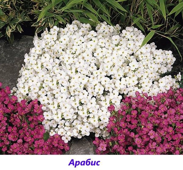 Самые неприхотливые многолетние цветы для сибири