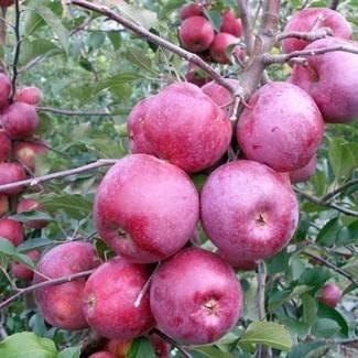 Настоящее украшение для вашего сада — яблоня сорта любава