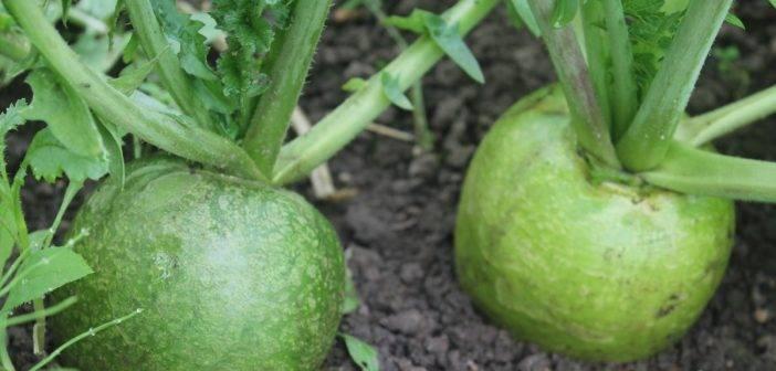 Как вырастить редьку в открытом грунте