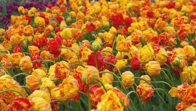 Нарцисс цветок: желтые, белые, розовые, трубчатые виды
