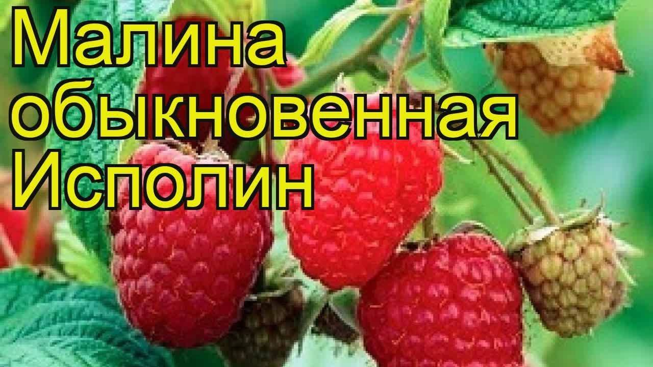 Всё о посадке крупноплодной малины гордость россии
