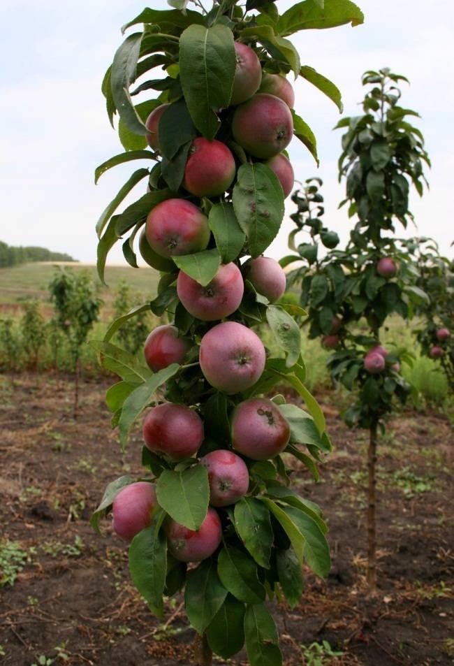 Колоновидная яблоня: как сажать и обрезать