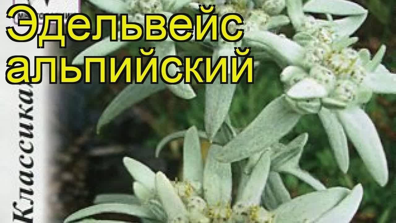 Выращиваем эдельвейс