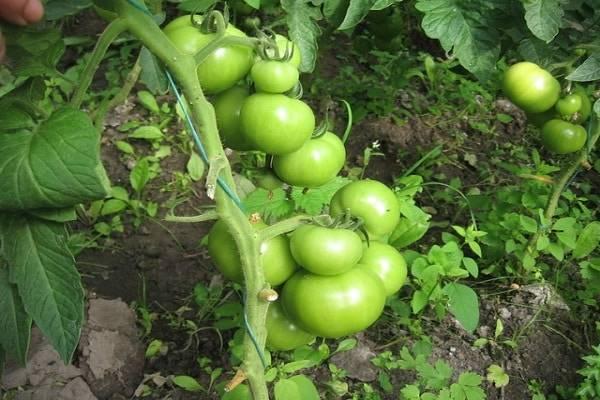 Сорт томата «буги вуги f1» — раннеспелый и высокоурожайный гибрид универсального назначения: описание, характеристика, посев на рассаду, подкормка, урожайность, фото, видео и самые распространенные болезни томатов