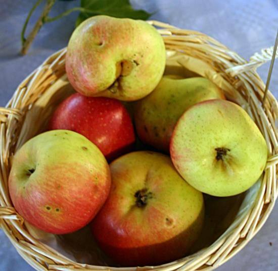 Яблоня коробовка — яблоко с медовым вкусом