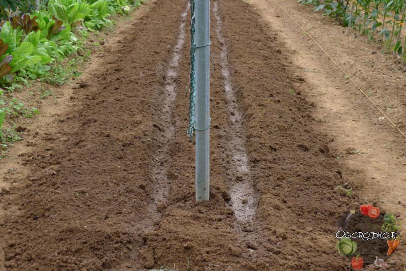 Особенности совместной посадки огурцов и кукурузы в открытом грунте