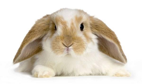 Как правильно ухаживать за декоративными вислоухими кроликами
