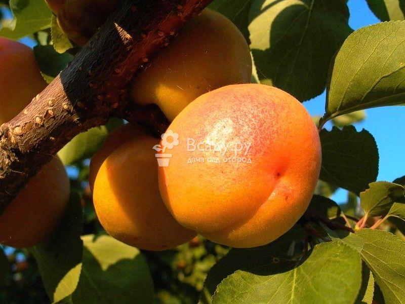 Особенности ухода за абрикосом в подмосковье