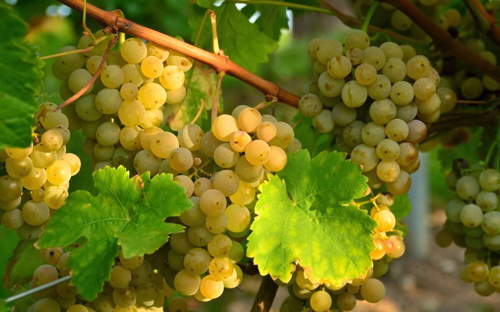 Виноград агат донской – его характеристики и особенности выращивания