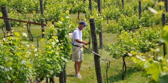 Чем и как опрыскивать виноград в июле для обработки от болезней и вредителей