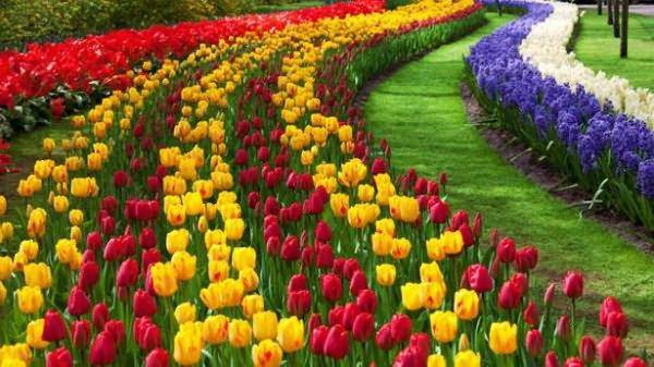 Посадка тюльпанов осенью: когда сажать в открытый грунт, сроки