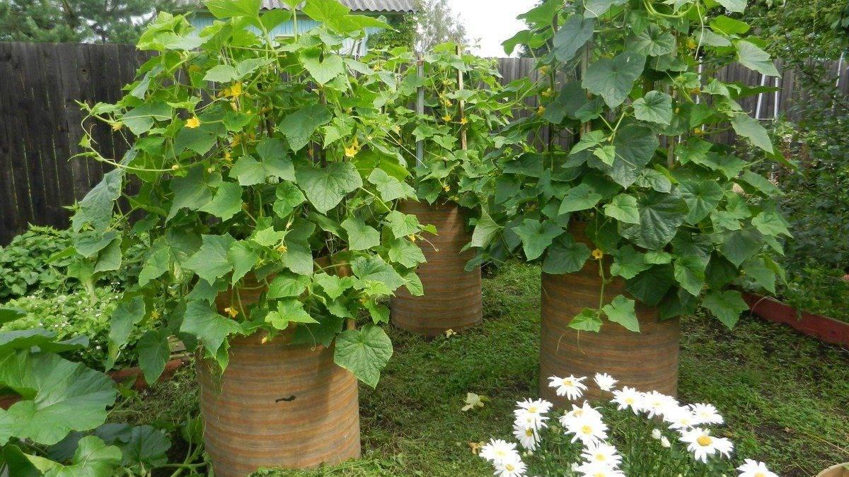 Необычный способ выращивания огурцов в бочке: как получить хороший урожай?