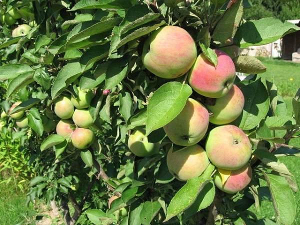 Устойчивая к парше и морозам — яблоня алтайская румяная
