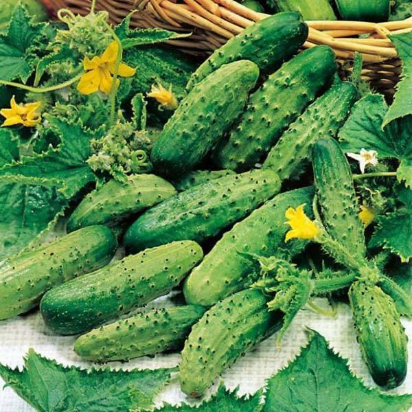 Сорт огурцов «серпантин f1»: особенности выращивания и ухода