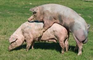 Как определить что свинья гуляет