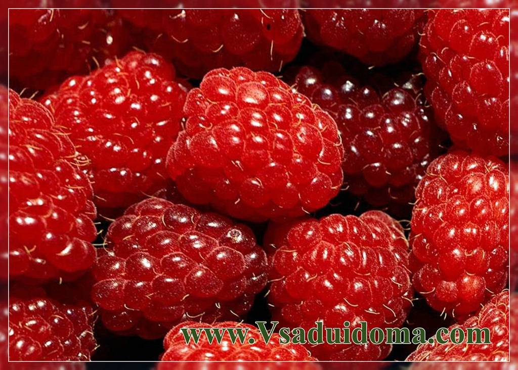 Чёрная малина: как вырастить сладкие ягоды цвета ночи? описание и особенности сортов с черными плодами