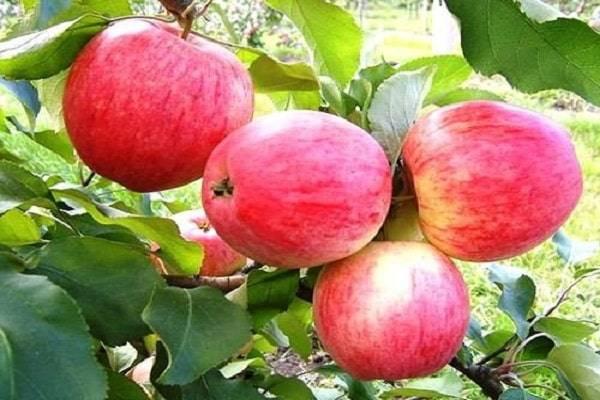 Яблоня — серебряное копытце: описание сорта, посадка и уход фото и отзывы