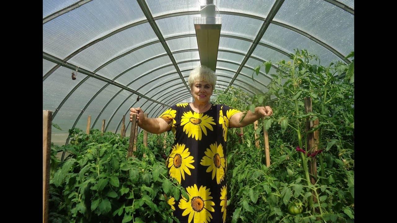 Как бороться с бурой пятнистостью на помидорах в теплице