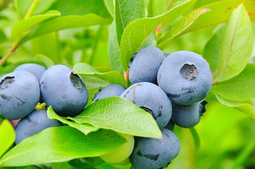 Голубика дарроу: описание, отзывы, фото, урожайность