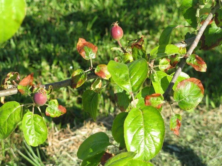 Разбор причин, почему засохла яблоня. мнение специалистов