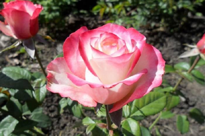 Выращивание роз в горшках — тонкости комнатного цветоводства