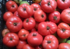 Выращиваем от посева до сбора урожая томат «розовое чудо f1»: отзывы фермеров и практические рекомендации