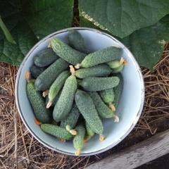 Неприхотливый партенокарпический гибрид огурцов «щедрик f1»: фото, видео, описание, посадка, характеристика, урожайность, отзывы