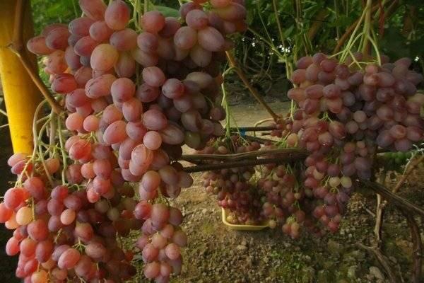 Описание и характеристики сорта винограда августин, посадка и уход, регионы выращивания