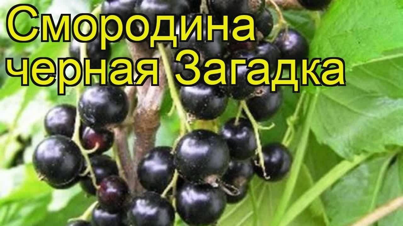 Смородина лентяй: описание сорта и отзывы про выращивание