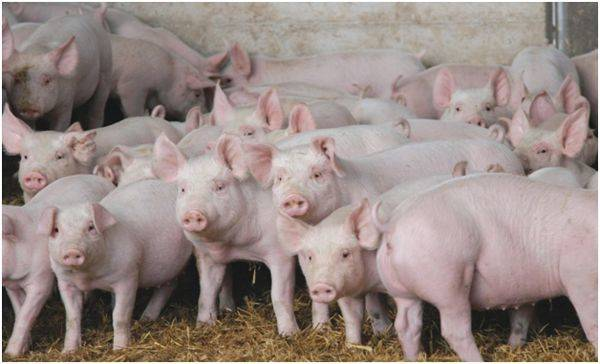Лучшие породы свиней мясного направления