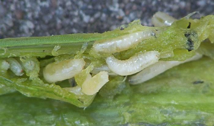Репчатый лук от глистов и других паразитов