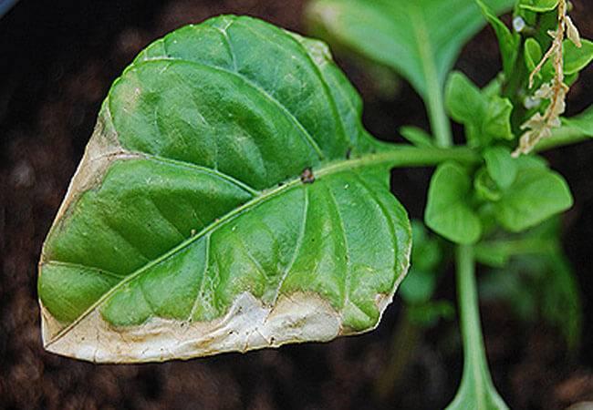 Листья перца пожелтели или побледнели: чем его подкормить