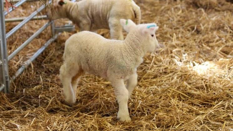 Описание и характеристики овец кавказской породы, особенности содержания
