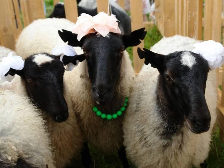 Романовская порода овец – её характеристики и фото