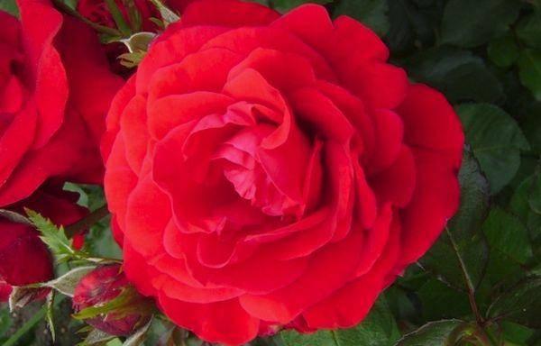 Описание и характеристики розы сорта Нина Вейбул, посадка и уход