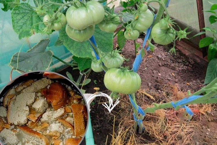 Подкормка огурцов хлебным настоем: как сделать и правильно удобрять