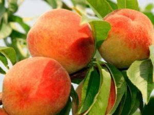 Болезни персика: описание с фотографиями и способы лечения вредителей