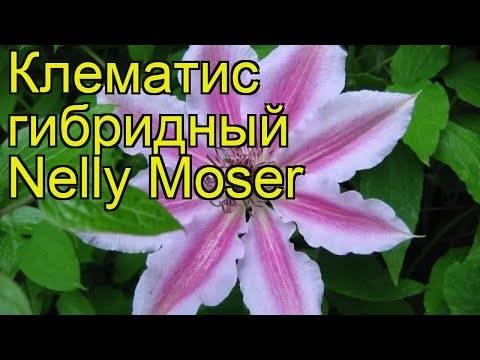 Клематис «нелли мозер»: описание сорта, фото и отзывы