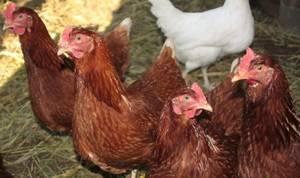 Неприхотливый кросс родонит – особенности содержания и ухода за птицей