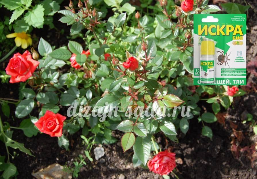 Чем обработать розы от тли народными средствами