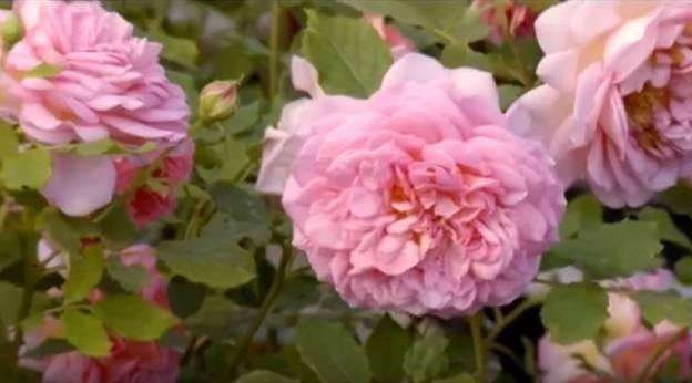 Розы пионовидные – красoты невиданные!