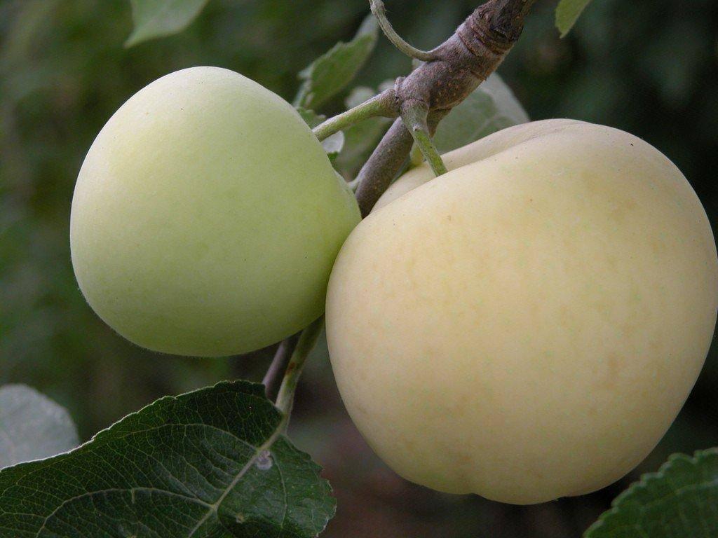 Белый налив — любимый всеми сорт яблок