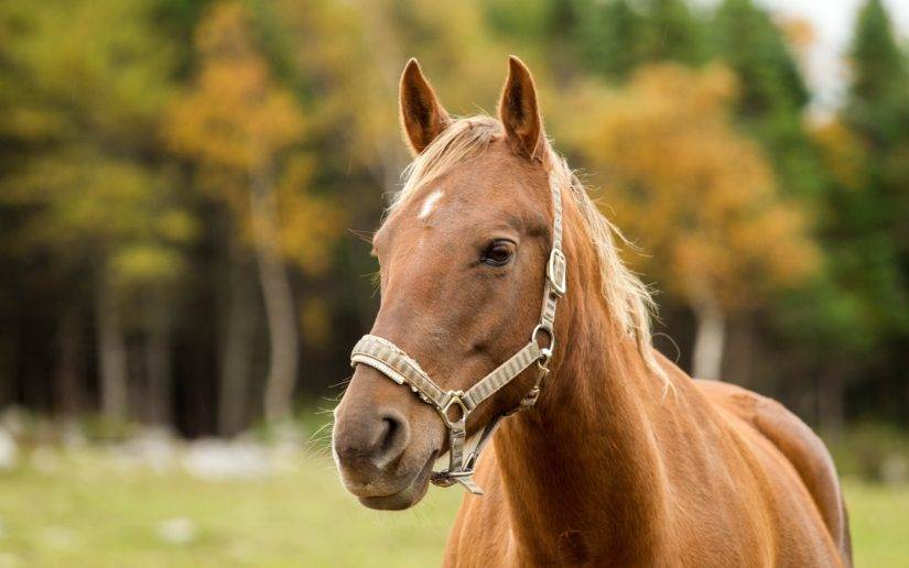 Лептоспироз лошадей