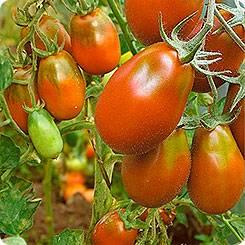 Томат данна описание и характеристика сорта мнение садоводов с фото