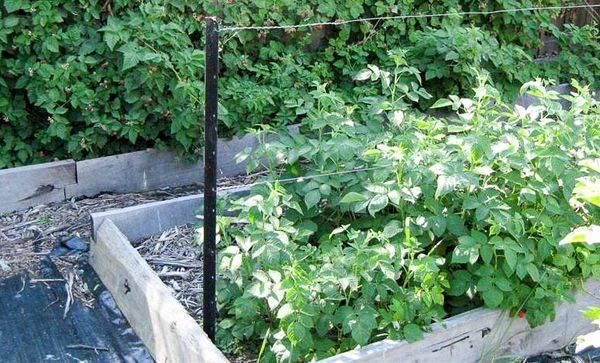 Посадка саженцев малины весной: важные советы новичкам