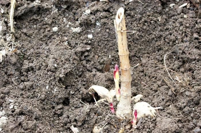 Георгины: посадка, уход, выращивание и размножение