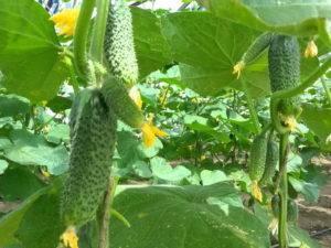 Описание сорта огурцов метелица, его урожайность и выращивание